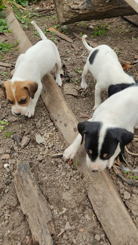 Cachorro caça 150 pra vender logo - Foto 4