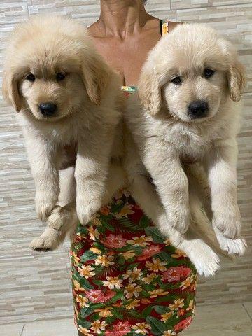 Goldens Retriever com pedigree - Foto 3
