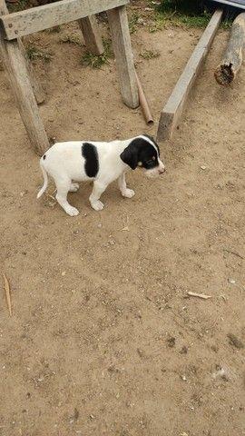 Cachorro caça 150 pra vender logo - Foto 3