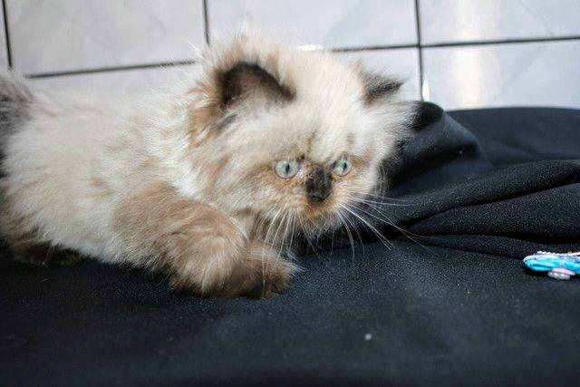 Lindíssima gata Persa Himalaia - Foto 2