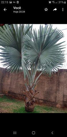 Palmeira Bismak ( palmeira azul) - Foto 4