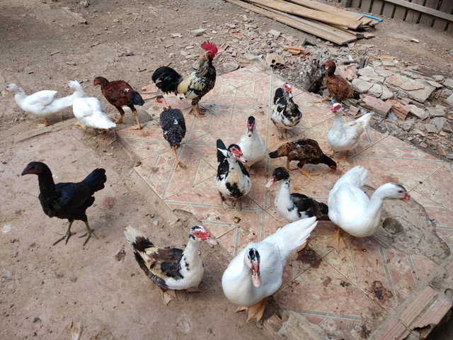 Vende pato ? mais informações whatsapp *