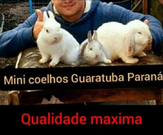 Coelhos anão Netlerland Dwarf  com linhagem show inportado