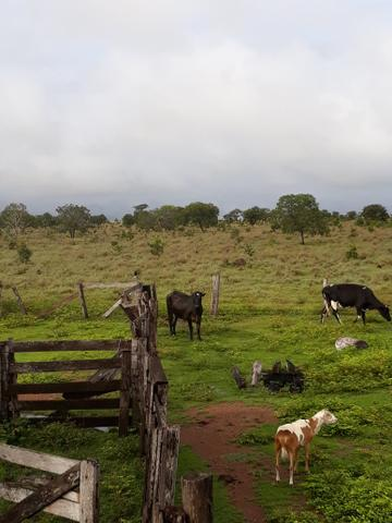 Fazenda 50alq Santa Maria PA 10mil o alq Tr x Casa em Palmas URG Airton - Foto 7