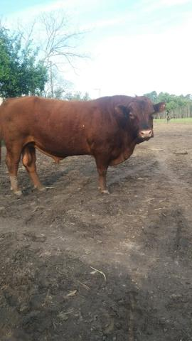 Terneiros red angus - Foto 6