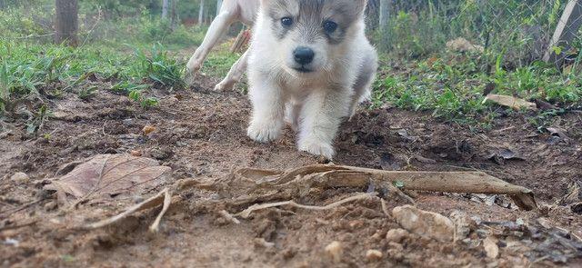 Husky siberiano - Foto 6