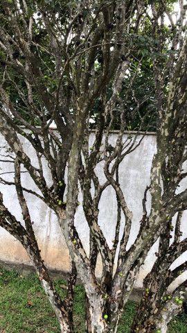Jabuticaba Sabará 20 anos produzindo 6 metros - Foto 3