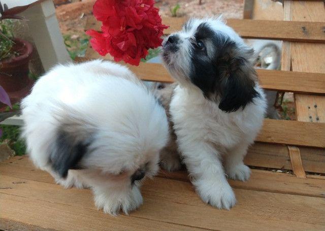 Filhotes de Lhasa Apso