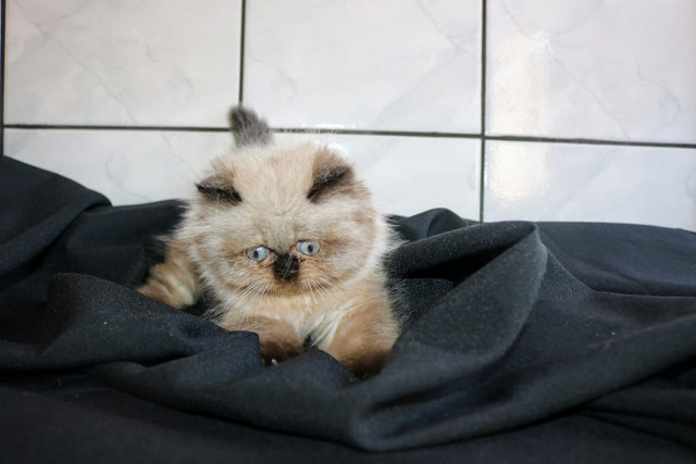 Lindíssima gata Persa Himalaia - Foto 3