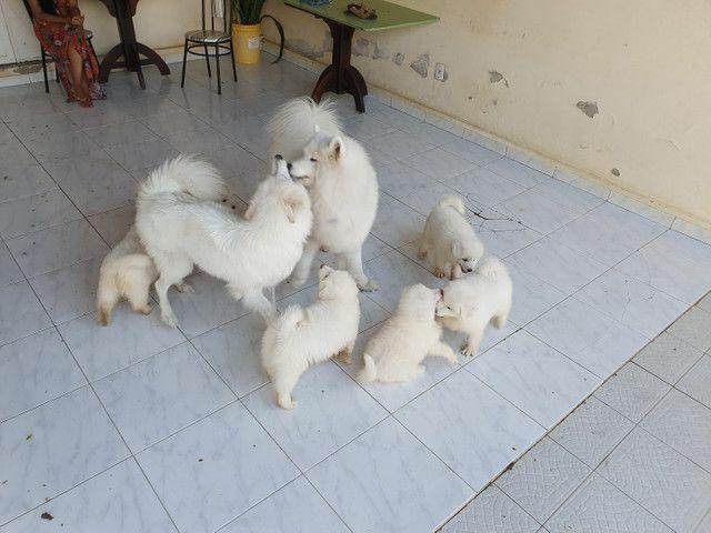 Filhotes de Samoieda - Foto 5