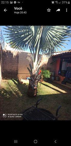 Palmeira Bismak ( palmeira azul) - Foto 3