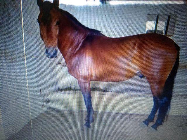 Doa-se um lindo cavalo - Foto 2