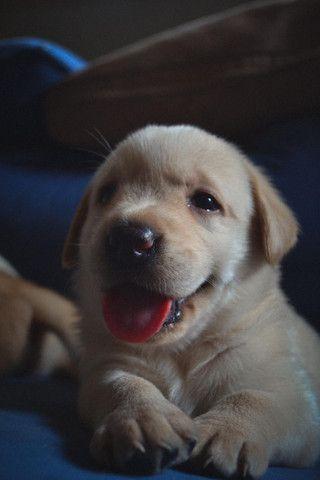 Labrador creme lindo COMPRE E GANHE