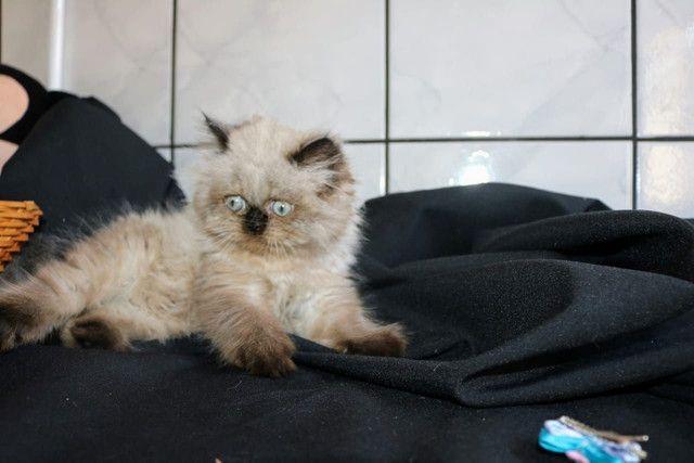 Lindíssima gata Persa Himalaia