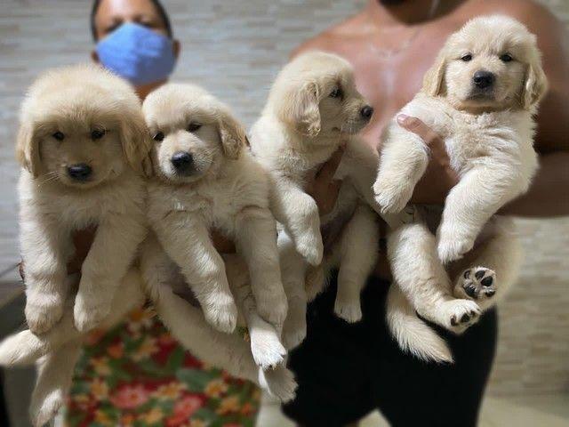 Goldens Retriever com pedigree - Foto 6