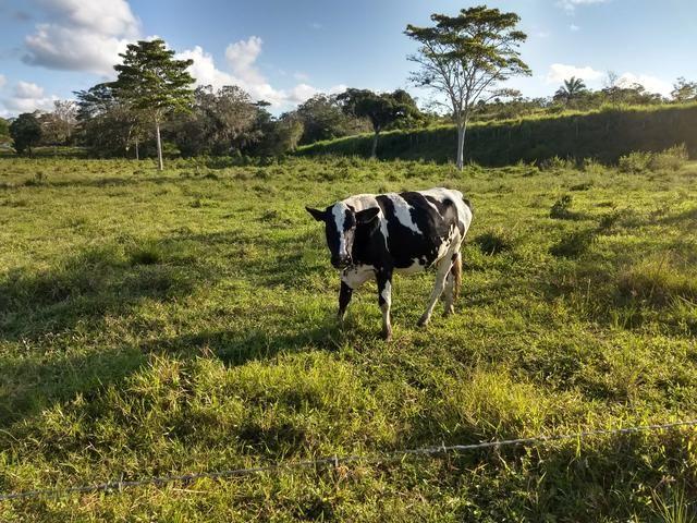 Vendo novilhas e vacas de leite - Foto 4