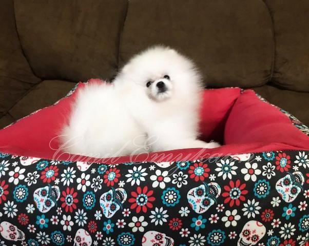 Lulu da Pomerania - Fêmea branco - Linhagem importada - Foto 2
