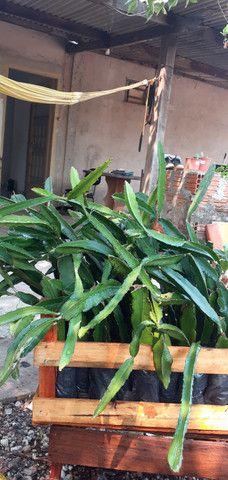 Mudas de pitayas polpa branca - Foto 3