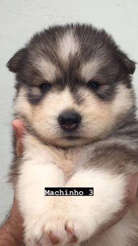 Filhotes de husky siberiano com pedigree - Foto 5