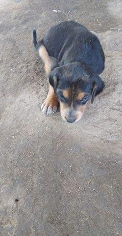 Vende - se cachorro americano, mais informações * - Foto 5