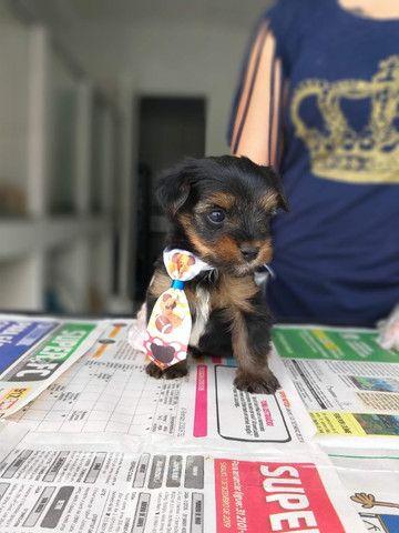Yorkshire Terrier tamanhos micro e padrão, machos e fêmeas! *