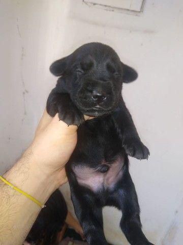 Filhotes de Labrador Retrivier