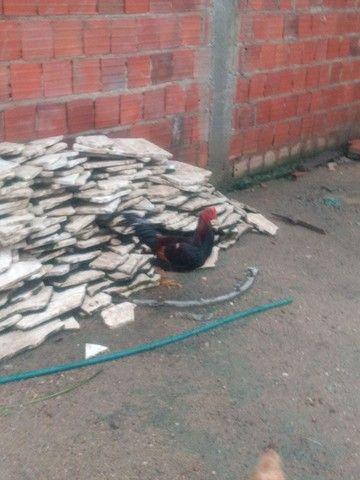 Vendo galinhas  - Foto 6