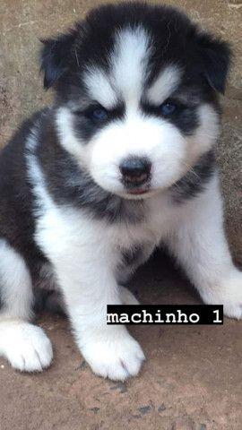 Filhotes de husky siberiano com pedigree - Foto 3