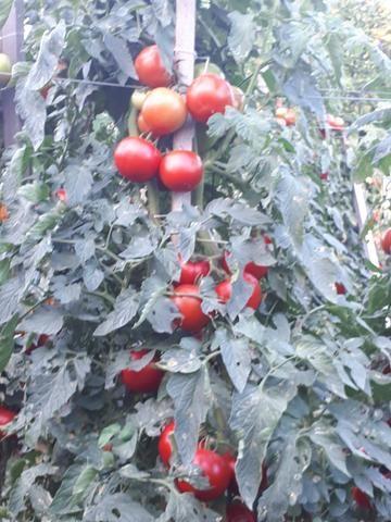 Tomates - Foto 4