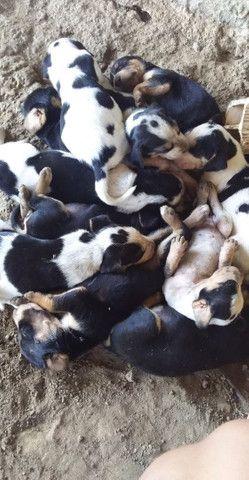 Vende - se cachorro americano, mais informações * - Foto 3