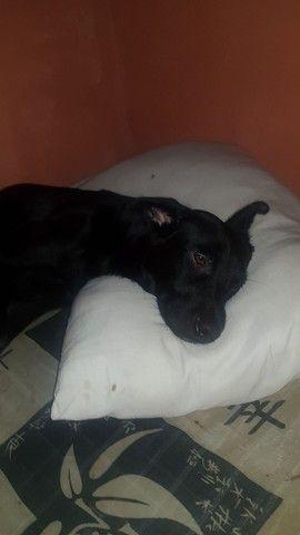 Doação Cachorro porte médio, Labrador  - Foto 2