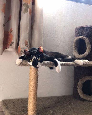 Gato Adoção Doação - Foto 3
