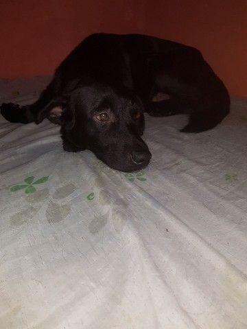 Doação Cachorro porte médio, Labrador