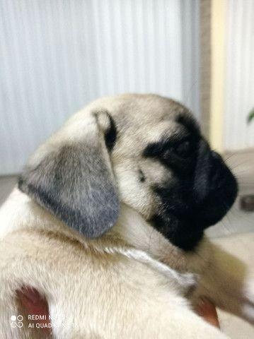 Pug fêmea com pedigree CBKC - Foto 6
