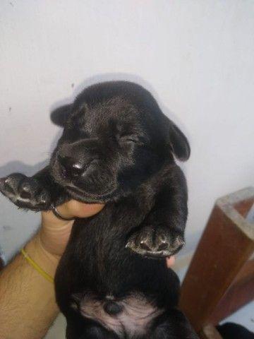 Filhotes de Labrador Retrivier - Foto 3