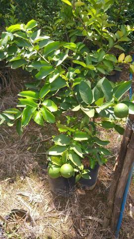 Diversas mudas e plantas - Foto 6