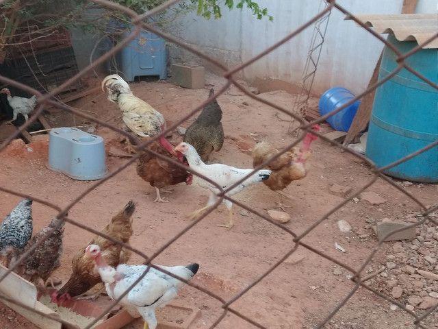 Vendo 5 galinhas 2 frangos 1 galo e 9 franguinhos
