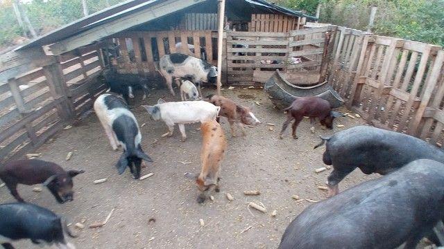 Porco Caipira  - Foto 3