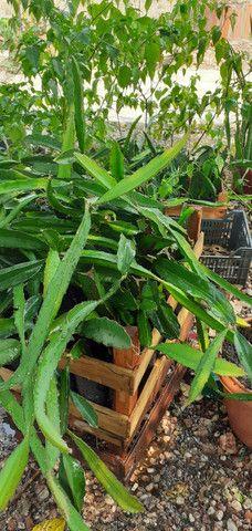 Mudas de pitayas polpa branca - Foto 5