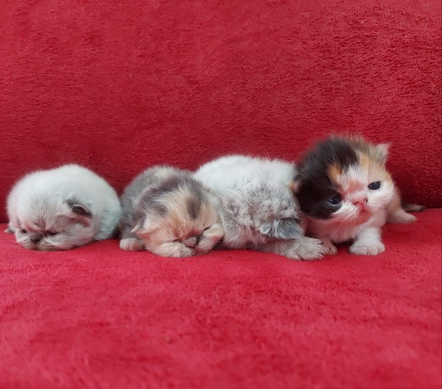 Filhote de persa disponível - Foto 6