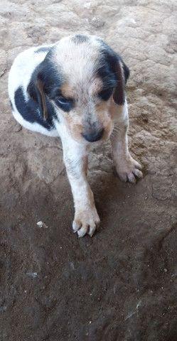 Vende - se cachorro americano, mais informações * - Foto 4