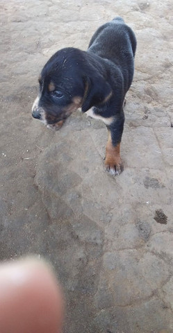 Vende - se cachorro americano, mais informações * - Foto 6