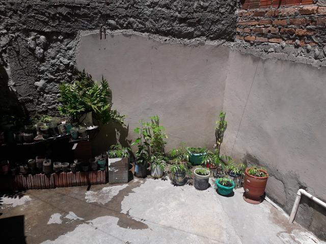 Mudas de cajarana anão original - Foto 2