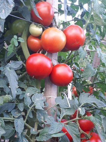 Tomates - Foto 5