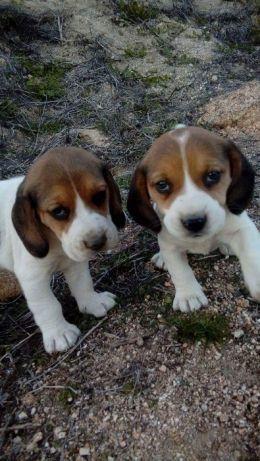 Beagle mini, a pronta entrega * - Foto 2