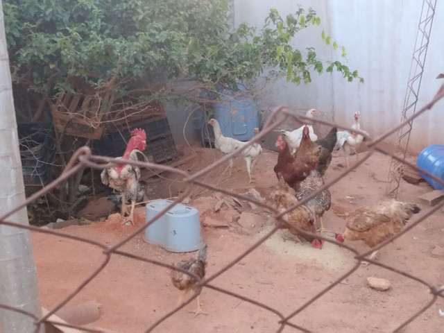 Vendo 5 galinhas 2 frangos 1 galo e 9 franguinhos - Foto 3