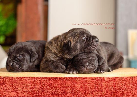Filhote de cane corso - Foto 2