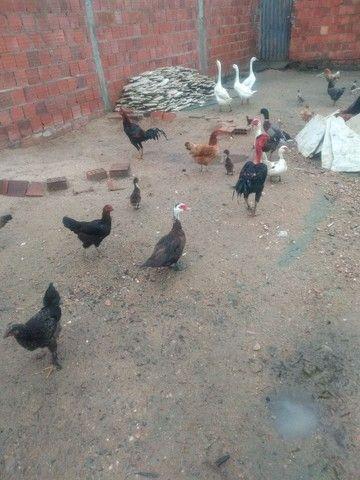 Vendo galinhas  - Foto 4
