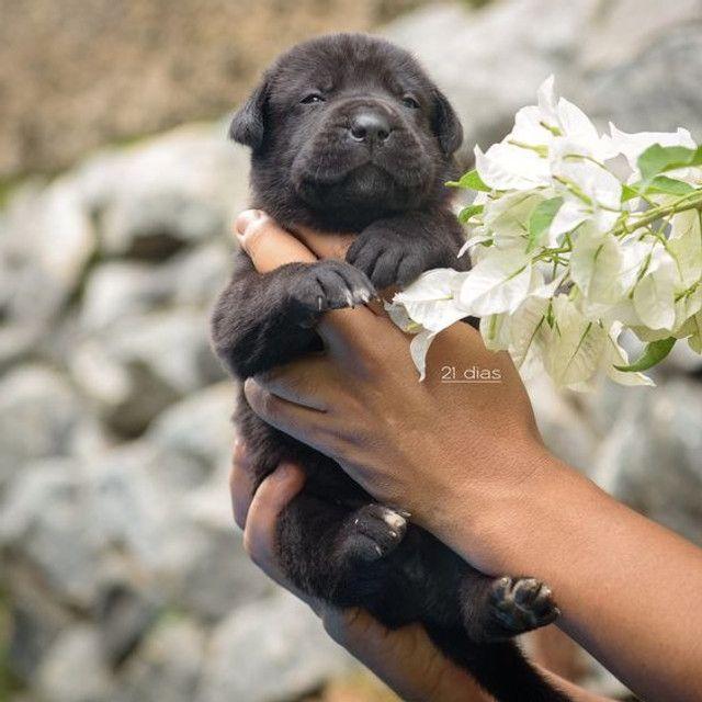 Filhote de cane corso - Foto 5