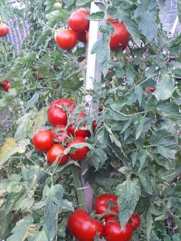 Tomates - Foto 2